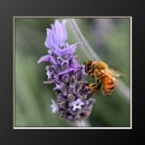 Feasting Bee by LynEve, photography->nature gallery