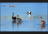 Wading and . . .waiting by LynEve, photography->birds gallery