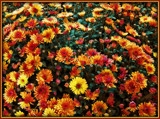Bank of Mums by trixxie17, photography->flowers gallery