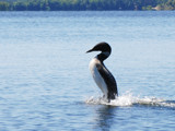 An uncommon loon by wheedance, Photography->Birds gallery