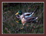 Mallard 5 by gerryp, Photography->Birds gallery