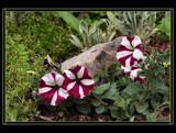 Precious 'Pets' (Petunias) by verenabloo, Photography->Gardens gallery