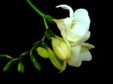 Freesia alba.. by 89037, contests->Negative Space gallery