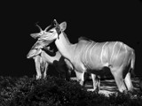 Kudu Family in B/W by Ramad, contests->b/w challenge gallery