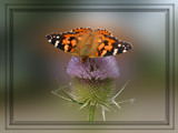 Thistle butterfly on Thistle by wimida, Photography->Butterflies gallery