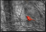 Red On Black and White by Jimbobedsel, photography->birds gallery