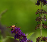 The Hummingbird Moth_#2 by tigger3, photography->action or motion gallery