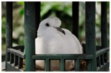 Resting Dove 2.0 by RL, photography->birds gallery