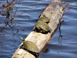 Basking Turtles by Pistos, Photography->Animals gallery