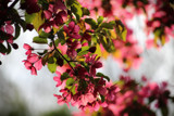 Crabapple Blossoms by Pistos, photography->flowers gallery