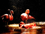 Bathing Flamingos by Slap_Happy, Photography->Birds gallery