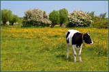 Enjoying Hawthorns And Buttercups by corngrowth, photography->animals gallery