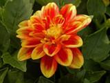 """""""California Dahlia"""" by trixxie17, photography->flowers gallery"""
