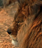 Cat Camp_The Majestic Lion by tigger3, photography->animals gallery