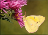 The Sulphur Butterfly by tigger3, photography->butterflies gallery