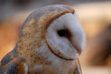 Profile of a Barn Owl by egggray, Photography->Birds gallery