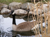 Goose On Pond by hirschikiss22, Photography->Birds gallery