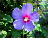 """Rose of Sharon - """"Azuli Blue"""" by trixxie17, photography->flowers gallery"""