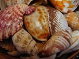 Seashells by lilkittees, photography->still life gallery