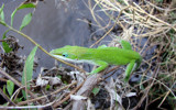 Green Anole by stoneytreehugger, Photography->Animals gallery