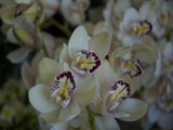 Orchids For Ace33 by roynz, Photography->Flowers gallery