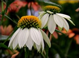 Coneflowers by trixxie17, photography->flowers gallery