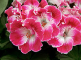 Pelagonium by trixxie17, photography->flowers gallery