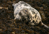 seal by barnstormer, Photography->Animals gallery