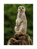 www.comparethemeercat.com by JQ, Photography->Animals gallery