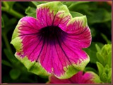 """""""Pretty Much Picasso"""" Petunia by trixxie17, photography->flowers gallery"""