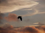 sunset heron over chatham by solita17, photography->birds gallery