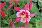 Red Columbine by trixxie17, photography->flowers gallery