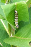 Danaus Plexippus Caterpillar (Monarch) by wencele, Photography->Insects/Spiders gallery