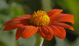 Mexican Sunflower #2 by tigger3, Photography->Flowers gallery
