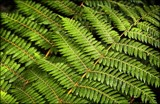 A Fern for Friday by LynEve, photography->nature gallery