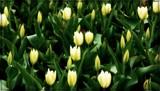 Tulip Glow by trixxie17, photography->flowers gallery