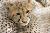 Cheetah Cub by paarl002, Photography->Animals gallery