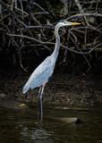 Image: Great Blue Heron