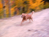 Dog in the aspens by bridgebrain, photography->pets gallery