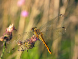 Dragonfly resting by ekowalska, photography->insects/spiders gallery