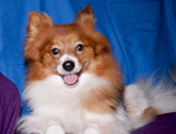 Posed Pomeranian by dogloverbb1, photography->pets gallery