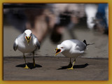 City Birds I : Evil Gulls by theradman, Photography->Birds gallery