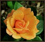 Mandarin by trixxie17, photography->flowers gallery