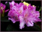 More Rhododendron by trixxie17, photography->flowers gallery