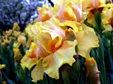 Irises on Parade! by marilynjane, Photography->Flowers gallery