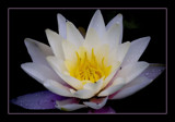 waterlily by JQ, Photography->Flowers gallery