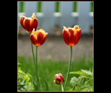 Flaming Tulips for You ! by verenabloo, Photography->Flowers gallery