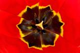 Eye of the Tulip by Nikoneer, photography->flowers gallery