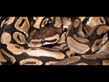 Snake by ederyunai, Photography->Reptiles/amphibians gallery