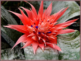 Pineapple Bromeliad by trixxie17, photography->flowers gallery